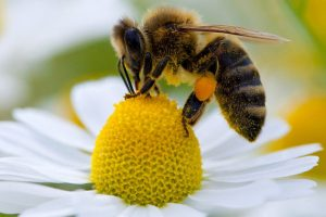 abeille-fleur-pollen